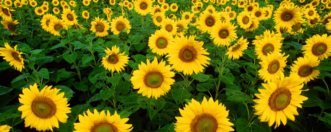 10046-sunflowers-in-a-field-or