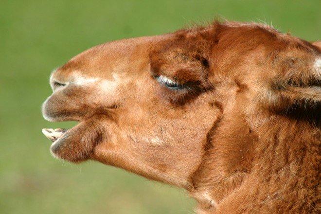 laughing-llama-2-1510448