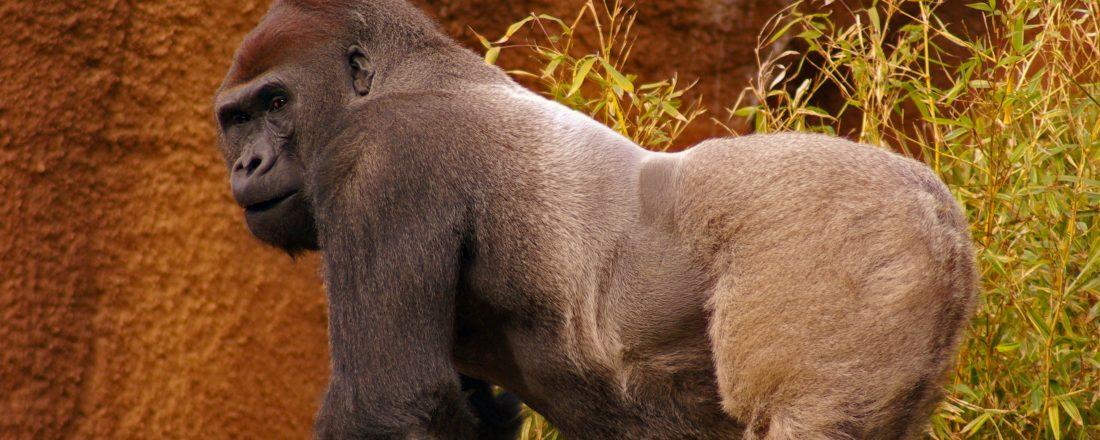 silverback-gorilla-peering-over-back-1357575